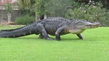 Alligators Mean